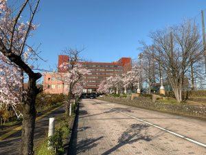 閉会後に高岡市役所前の道路から・・・桜が見頃となっています