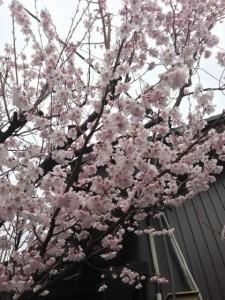 ※写真は、自宅前の桜です。ソメイヨシノではないので、すでに満開状態です。やはり、いつもの年よりも早いようでありますが・・・